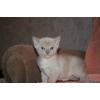 Бурманские котятки