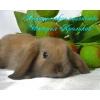 Карликовые кролики -крольчата