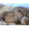 Продам крольчат породы вислоухий баран