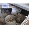 Продам крольчат  вислухих борашков