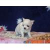 Продам щенков чихуахуа с родословной