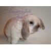 Вислоухие малыши карликовые бараны кролики крольчата