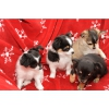 Чихуахуа щенки с родословной на продажу по доступным ценам