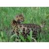 Бенгальская кошка  –  домашний мини-леопард
