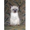продажа котёнка - мальчик - Меконгский (Тайский)  бобтейл