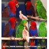Эклектус – продажа птенцов выкормышей