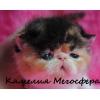 Экзотические и персидские котята