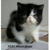 Экзотические короткошерстные котята