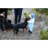 Подрощенные щенки ротвейлера