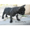 Французского бульдога щенок