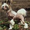 Гламурные щенки китайской хохлатой собаки