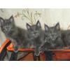 Голубой солидный котик Мейн Куна от Чемипона Мира!