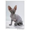 Голые магические кошки из питомника Гранд-меджик