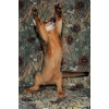 Игручие абиссинские кошечки