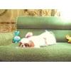 Декоративная собачка Японский Хин