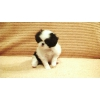 Продажа щенков японского хина