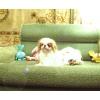 Японский Хин декоративная собачка