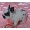 Карликовые крольчата из питомника разных пород и окрасов