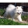 Предлогаем щенков самоеда ( самоедская собака )