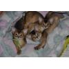 Абиссинские котята премиум-класса из питомника