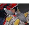 Социализированы Африканский серый попугай для принятия