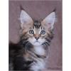 Кошечка породы мейн кун
