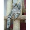 Котенок мейн кун. Самые крупные домашние кошки! ! !