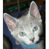 Котенок породы русская голубая