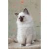 котенок Священная бирма