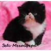 Котик персидский
