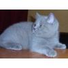 Котята бритаеские