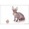 Котята КАНАДСКИХ СФИНКСОВ из Питомника Cats4People c Фото