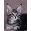Котята мейн кун,  нежный гигант