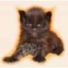 Котята породы Мейн кун!