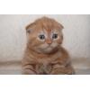 Красный мрамор скоттиш-фолд и страйт котята
