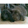кролики французский баран недорого