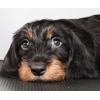Купить щенка жесткошерсной таксы.  Звоните 8(916) 619-28-24