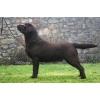 Лабрадор ретривер шоколадные и черные щенки от именитых родителей!