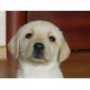 Лабрадор (светло-палевые)  щенки