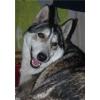 найдена собака хаски Липецк
