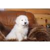 Маремма (мареммо-абруцкая овчарка)  щенки