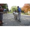 Маремма(мареммо-абруцкая овчарка) . Продажа щенков