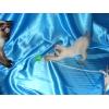 Меконгский бобтейл котята