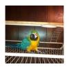 прекрасный синий и золотой попугай готовы