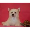 5 пуховых девочек ктитайской хохлатой собачки