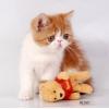 Продаю экзотических плюшевых котят современного типа