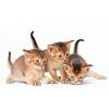 абиссинсике котята