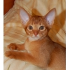 Абиссинская кошечка,  2. 5 месяца.