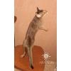 Абиссинская кошечка дикого окраса 5 месяцев