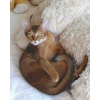 Абиссинские котята-мурлыки